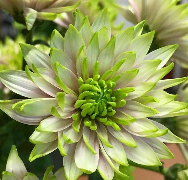 We are searching for a name for this beautiful new variety by Zentoo Chrysanthemums! The tricolors green, white and pink makes this chrysanthemum very unique...any suggestions? (photo by LM Flower Fashion)