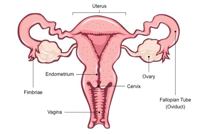 Dermatomes And Myotomes Upper Lower Limb How To Relief Female Reproductive System Reproductive System Female Reproductive System Anatomy