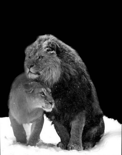 Photo Of Lion And Lioness In Snow For Fans Of All About Lions Lion And Lioness In Snow Wedding Ideas Animals Beautiful Animals Lion Love