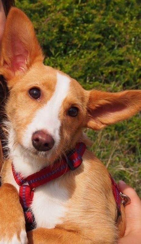 Mini Podenca Melly 8 Mon Kinderlieb Bruhl Rheinland Hund
