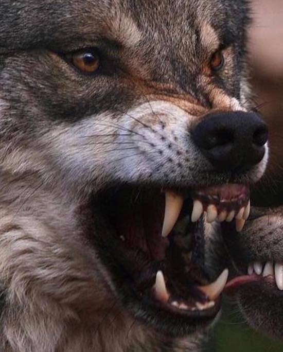 модели картинки про волков злых точкам