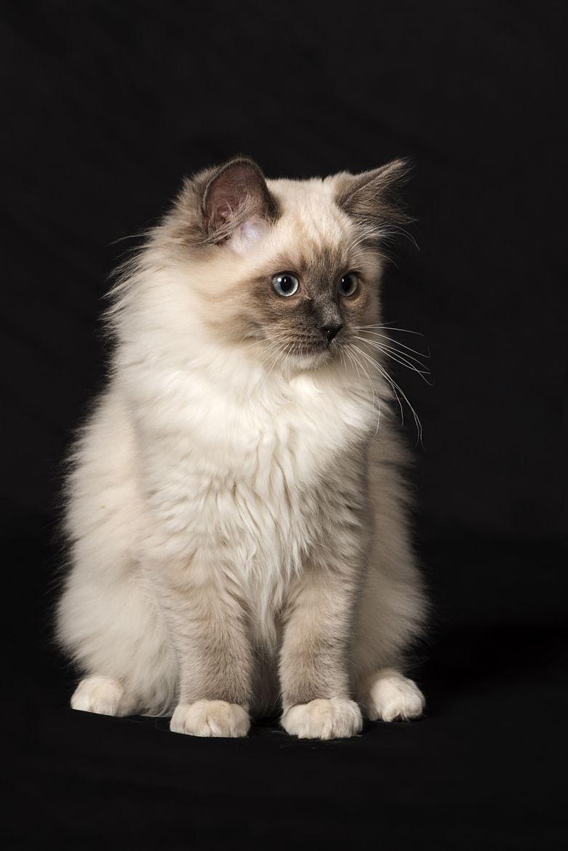 Wowtastic Nature Pretty Cats Ragdoll Kitten Cute Cat Breeds