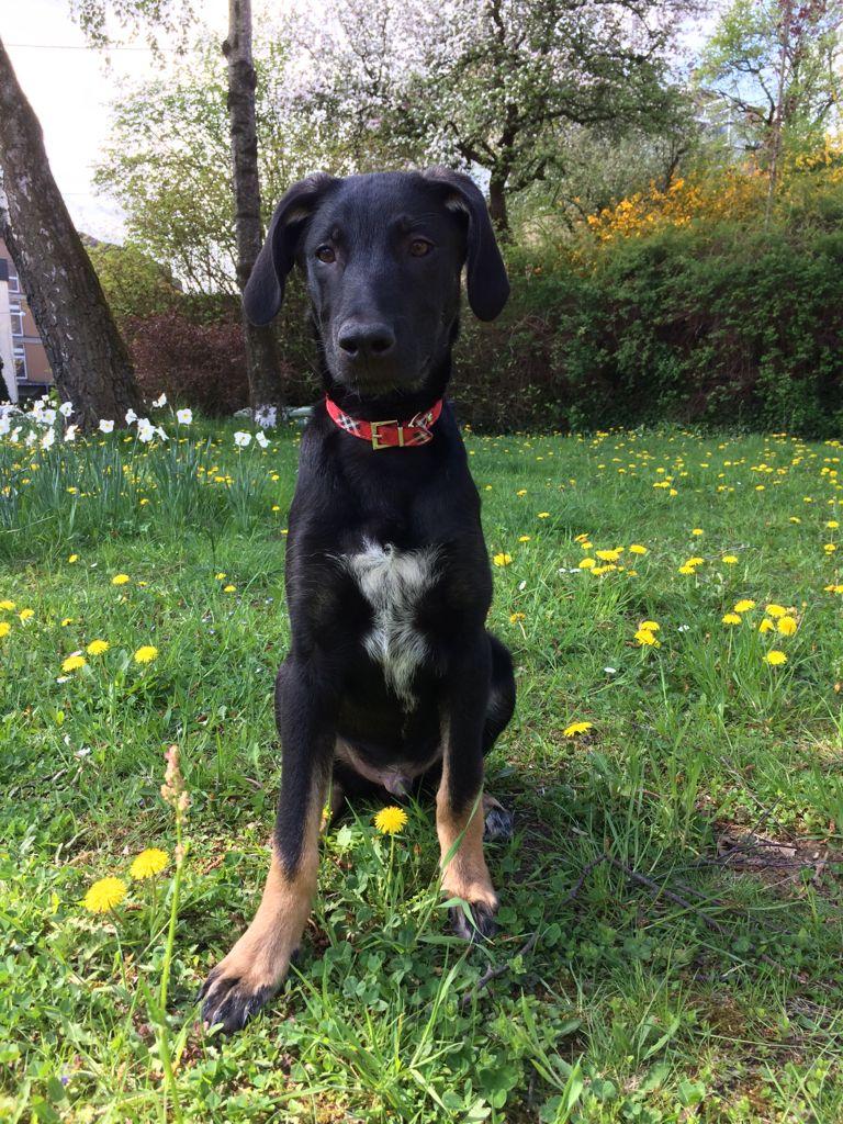 Balu Labrador Mix Pawshake (mit Bildern) Schöne hunde
