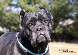 Adopt Amelia On Dog Sounds Female Cane Corso Adoption