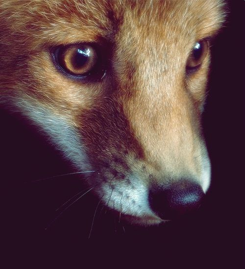 Fox This Would Be Great In Black And White Art Animls Pinterest