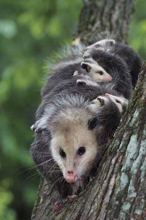 Opossum | GOD'S MARSUPIALS / UNIQUE ANIMALS | Opossum ...
