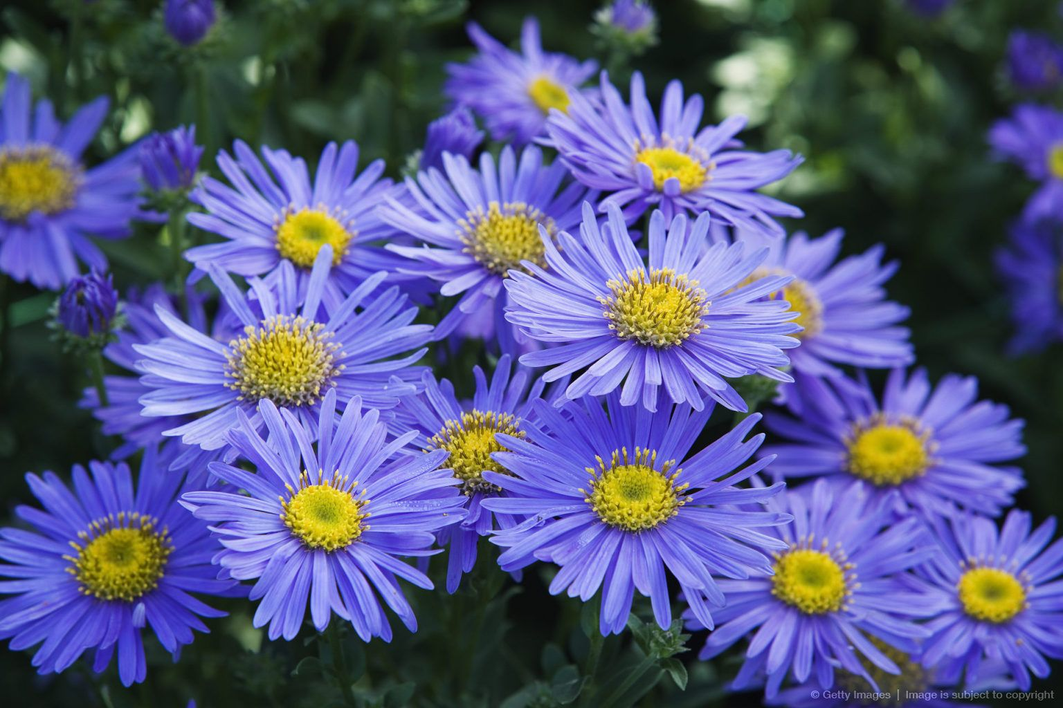 Image detail for michaelmas daisies aster x frikartii monch close image detail for michaelmas daisies aster x frikartii monch close up plant portrait izmirmasajfo Image collections