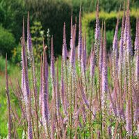 Veronicastrum virginicum 'Adoration'