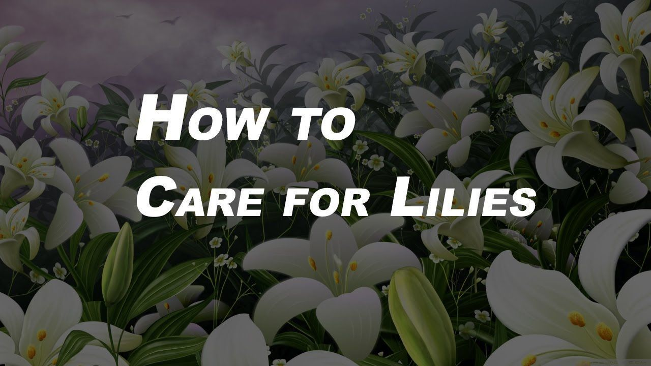 Basic Gardening Tips for Beginners How to Care for Lilies