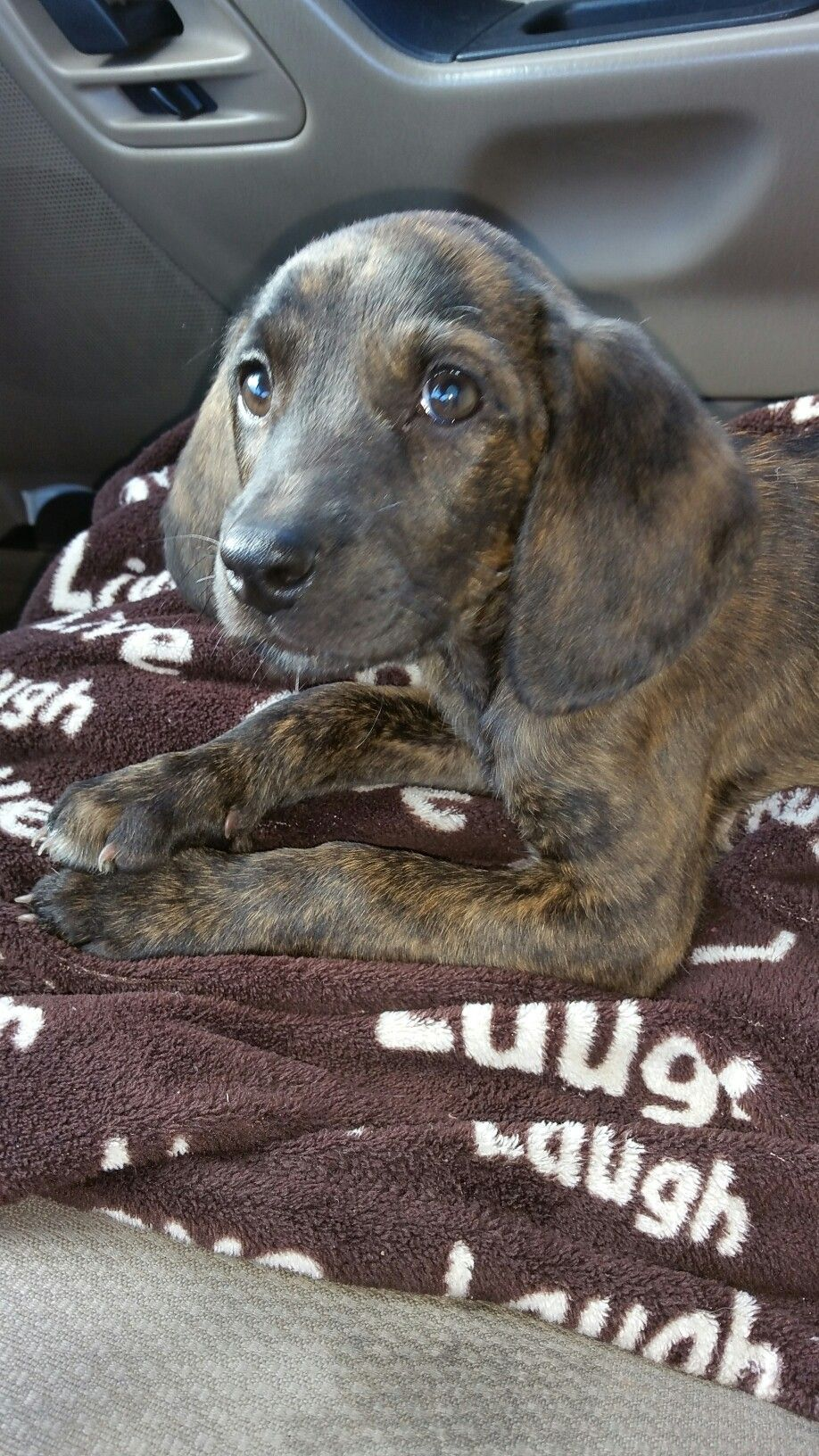 Plott hound puppy #plotthound