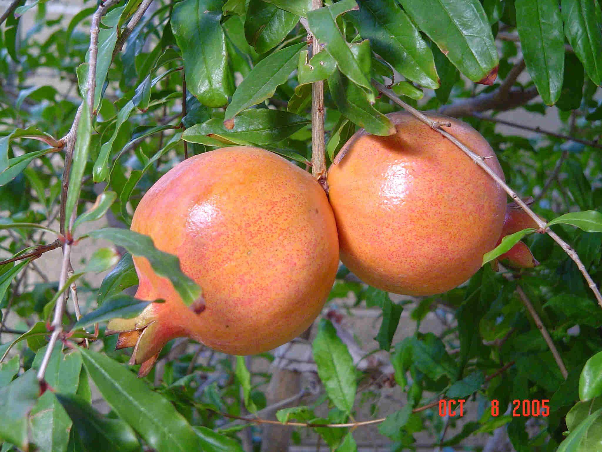 Fruit Plants Tissue Culture Harit Biotech