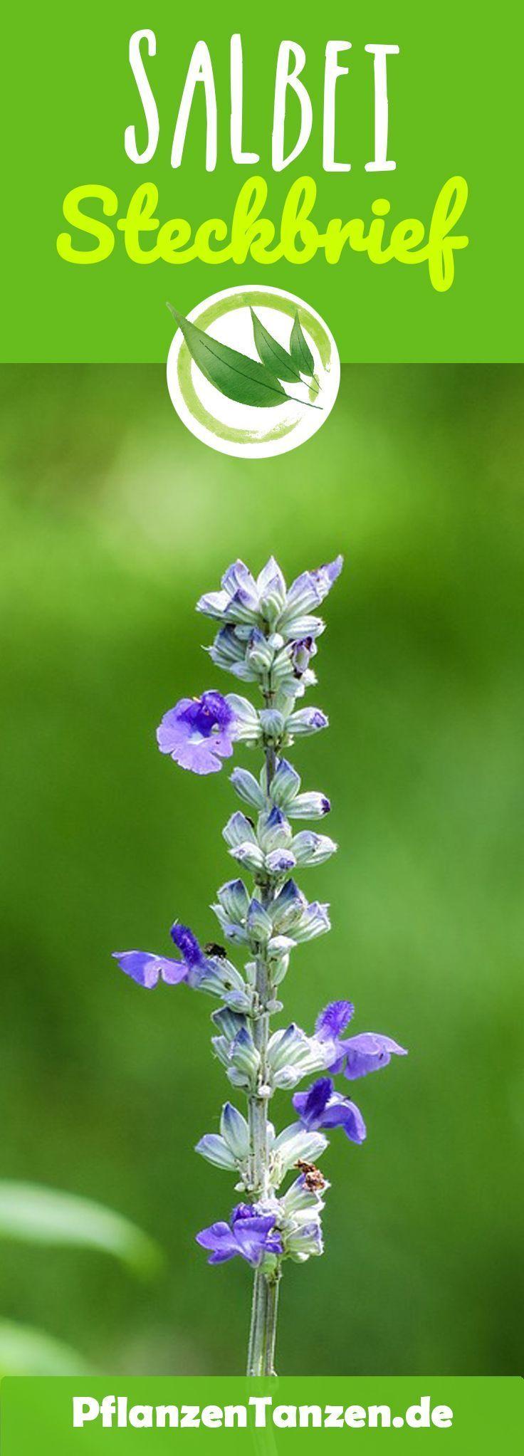 ||ᐅ Salbei Steckbrief – So kannst Du das Kraut anpflanzen & vermehren