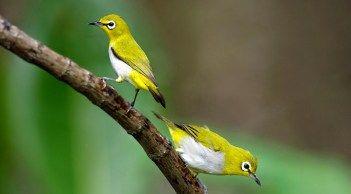 Kelebihan dan kekuangan pleci dada putih (daput). Harga Burung Pleci Dada Putih - Ruang Soal