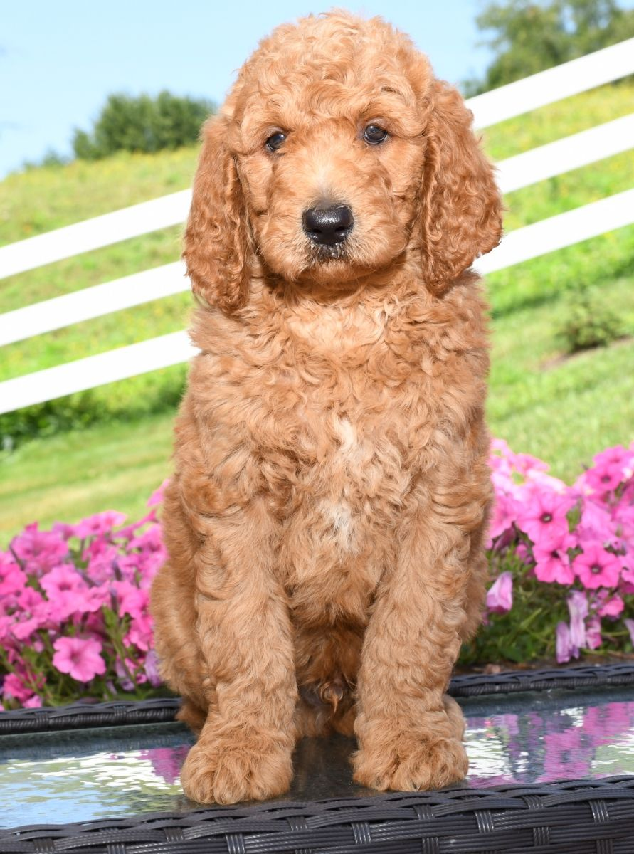 Puppies For Sale Poodle Puppy Dog Breeder Lancaster Puppies