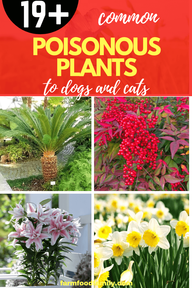 19 Poisonous Plants To Dogs And Cats Toxic Flowers Can Kill Your Pet Poisonous Plants Poisonous Plants Flowers Plants Poisonous To Dogs
