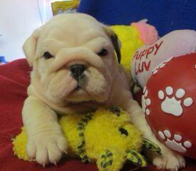 Bulldog puppy:)))!!