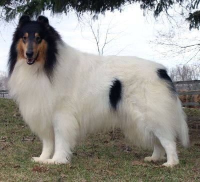 Northern Classic Collies Rough Collie Collie Breeds Collie
