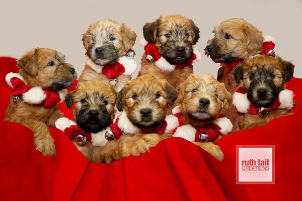 Erinisle Soft Coated Wheaten Terrier Puppies Of Lindsay On Canada Not My Dogs But I Had Soft Coated Wheaten Terrier Wheaten Terrier Puppy Christmas Dog