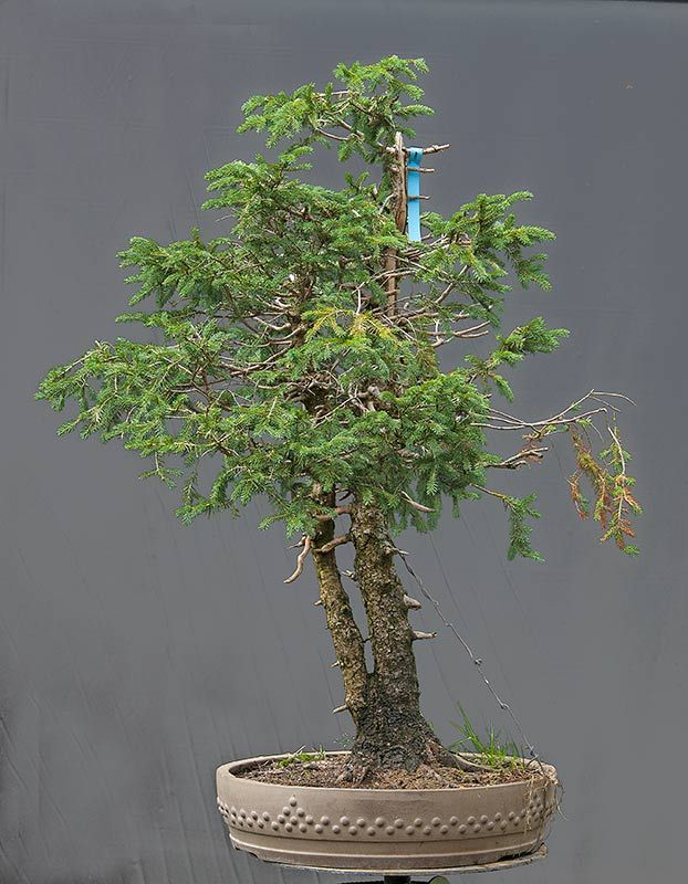 European Spruce Picea Abies Collected In 2007 Yes It Is Randy Knight Who Helped Me Collecting This One In I Plant Hanger Macrame Plant Hanger Macrame Plant