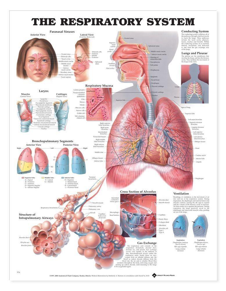The Respiratory System Anatomical Chart | Respiratory | Pinterest ...