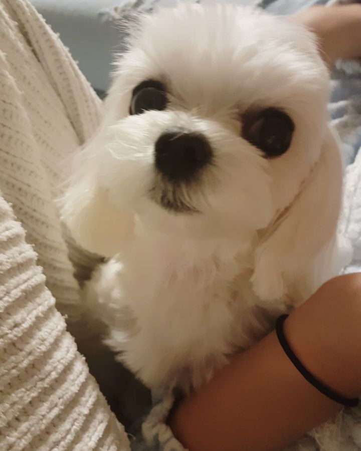 Big Eyed Beauty With Images Maltese Dogs Maltese Puppy Dogs