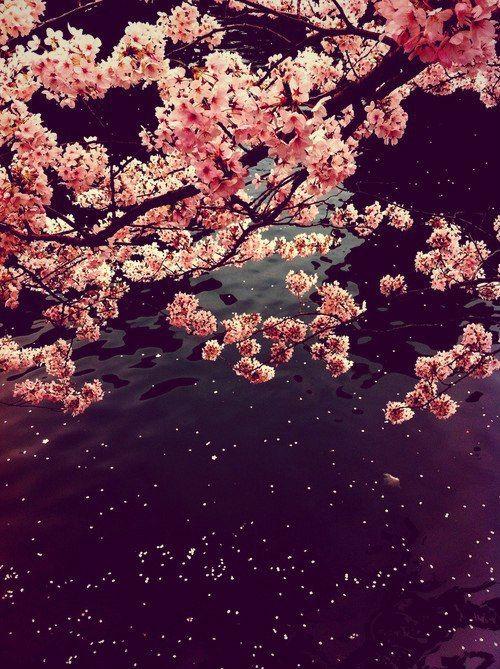 Pin By Ralitsa Kaneva On Sakura Spring Blossom Blossom Cherry Blossom