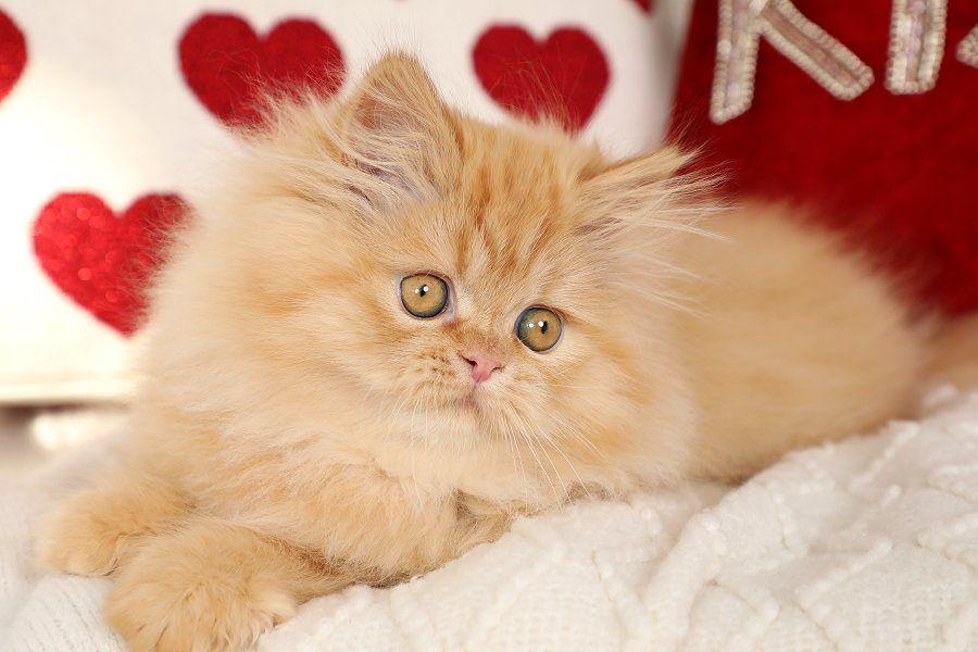 Past Kittens Persian Cat Persian Kittens Tabby Cat