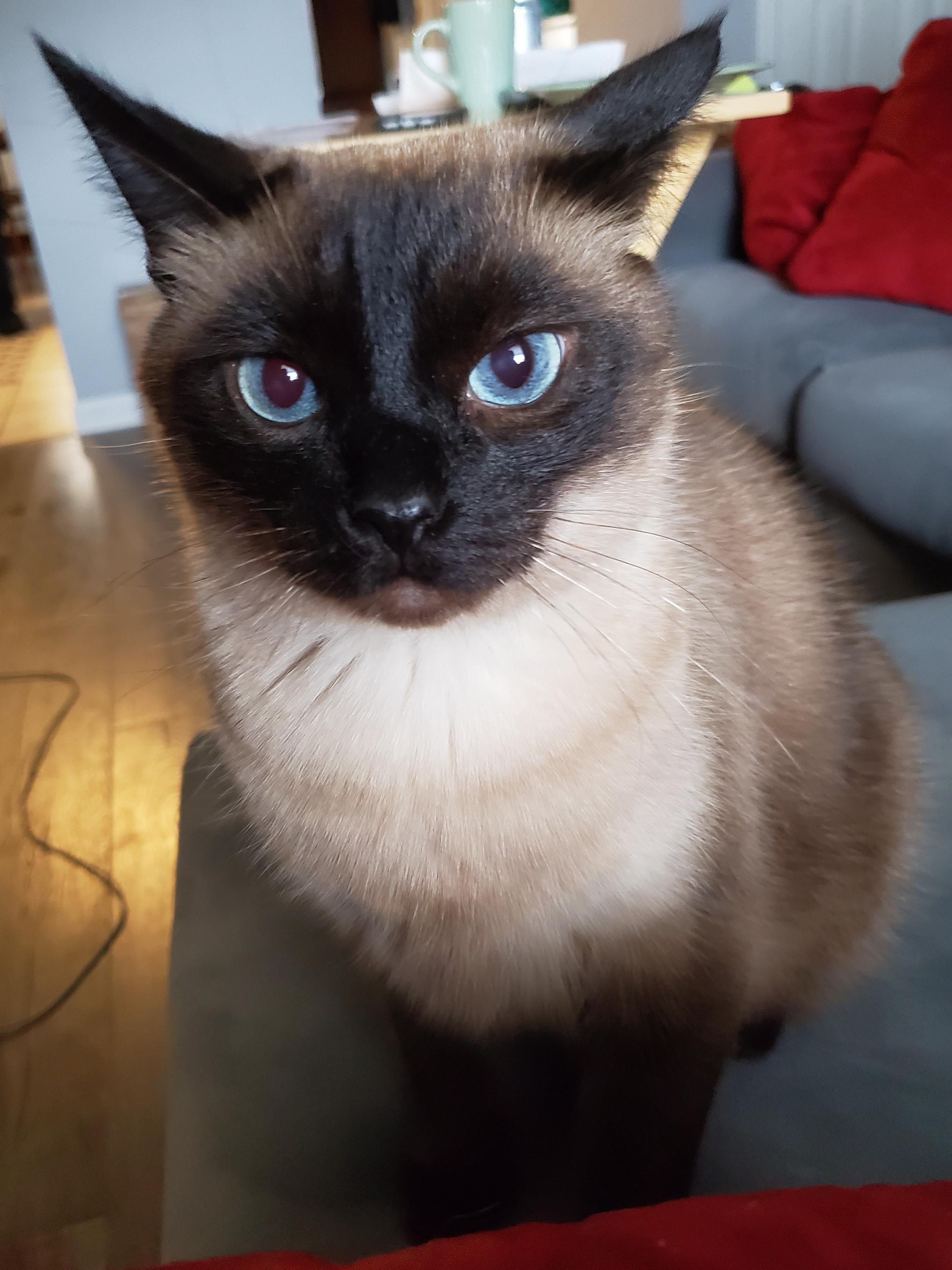 The Noble Siamese Indignant That He Just Got His Claws Trimmed Cat Pet Pets Cats Kitten Kitty Pussycat Cats Kitty Cat S