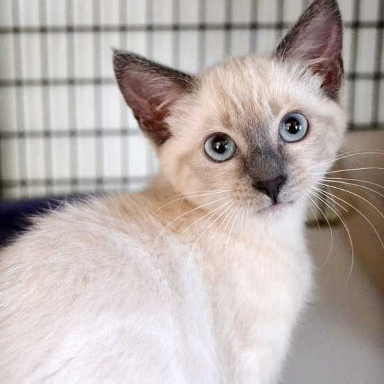 Hope Is A Lilac Point Siamese Kitten Who Is Very Engaged With People And Loves Being Held And Pet Adopt Her Today In Sandiego Pet Adoption Animals Pets