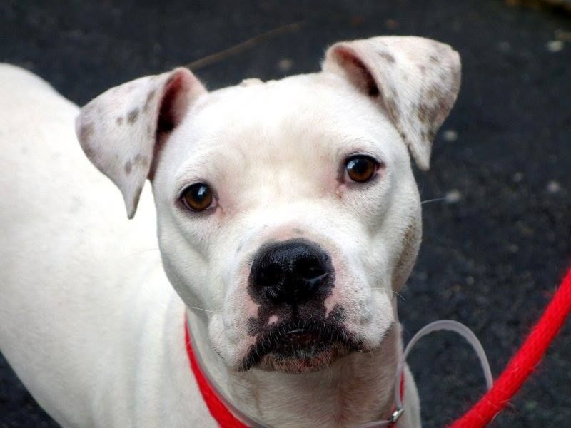 TO BE DESTROYED 1/3/14  Manhattan Center    My name is SAVOY. My Animal ID # is A0988311.  I am a female white and black staffordshire mix. The shelter thinks I am about 3 YEARS old.   I came in the shelter as a STRAY on 12/27/2013 from NY 10451, owner surrender reason stated was STRAY.    MOST RECENT MEDICAL INFORMATION AND WEIGHT  12/29/2013 Exam Type RE-EXAM - Medical Rating is 1 - NORMAL , Behavior Rating is NONE, Weight 37.0 LBS