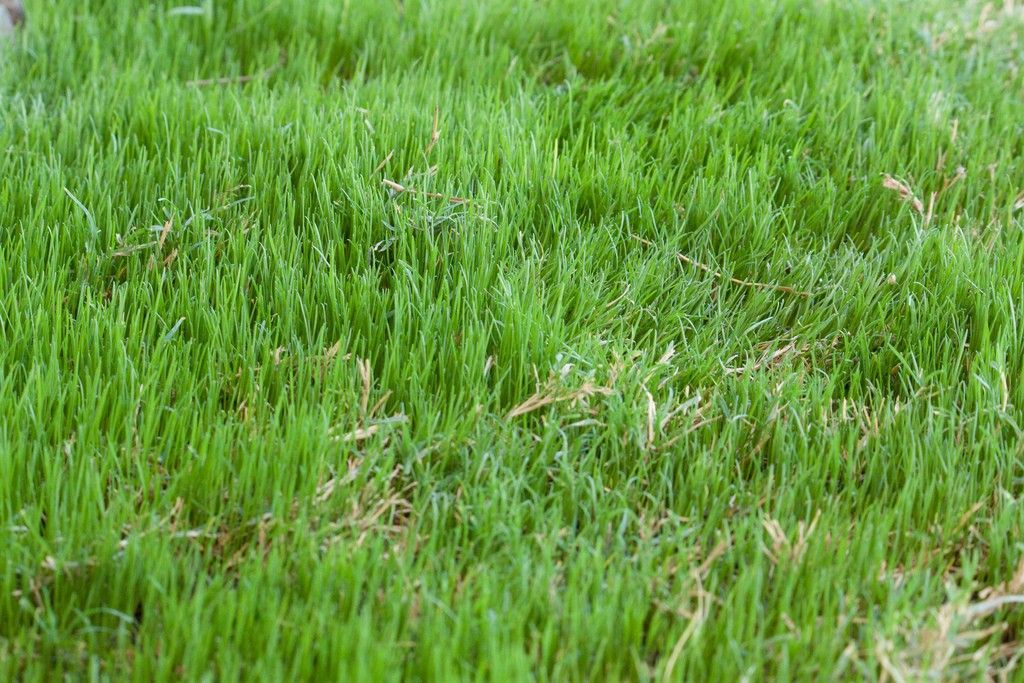 Growing Bermuda Grass Learn About The Care Of Bermuda Grass Bermuda Grass Bermuda Grass Care Planting Grass