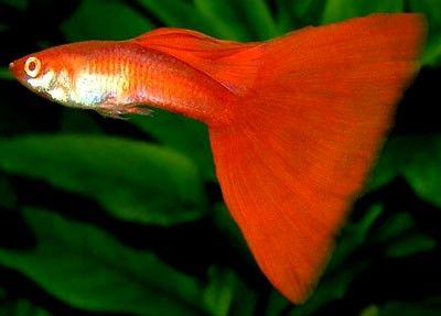 Full Red Guppy Guppy Fish Aquarium Fish Guppy