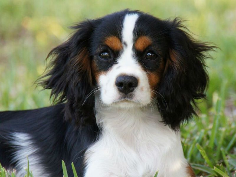 Your Adolescent Puppy And Changes To Expect King Charles Cavalier Spaniel Puppy King Charles Spaniel King Charles Dog