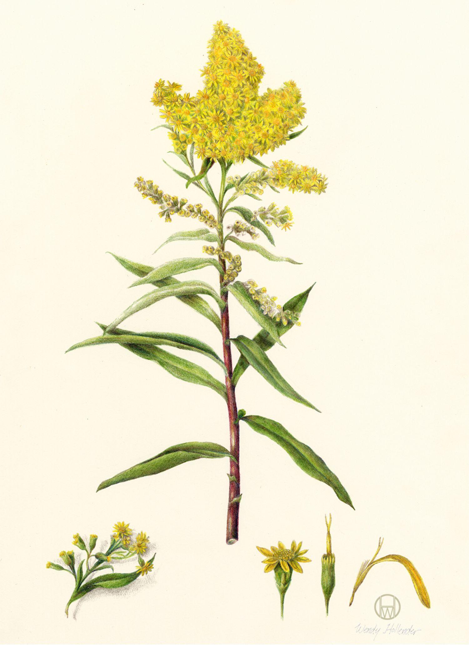Seaside Goldenrod Solidago Sempervirens Goldenrod Flower Botanical Illustration Goldenrod