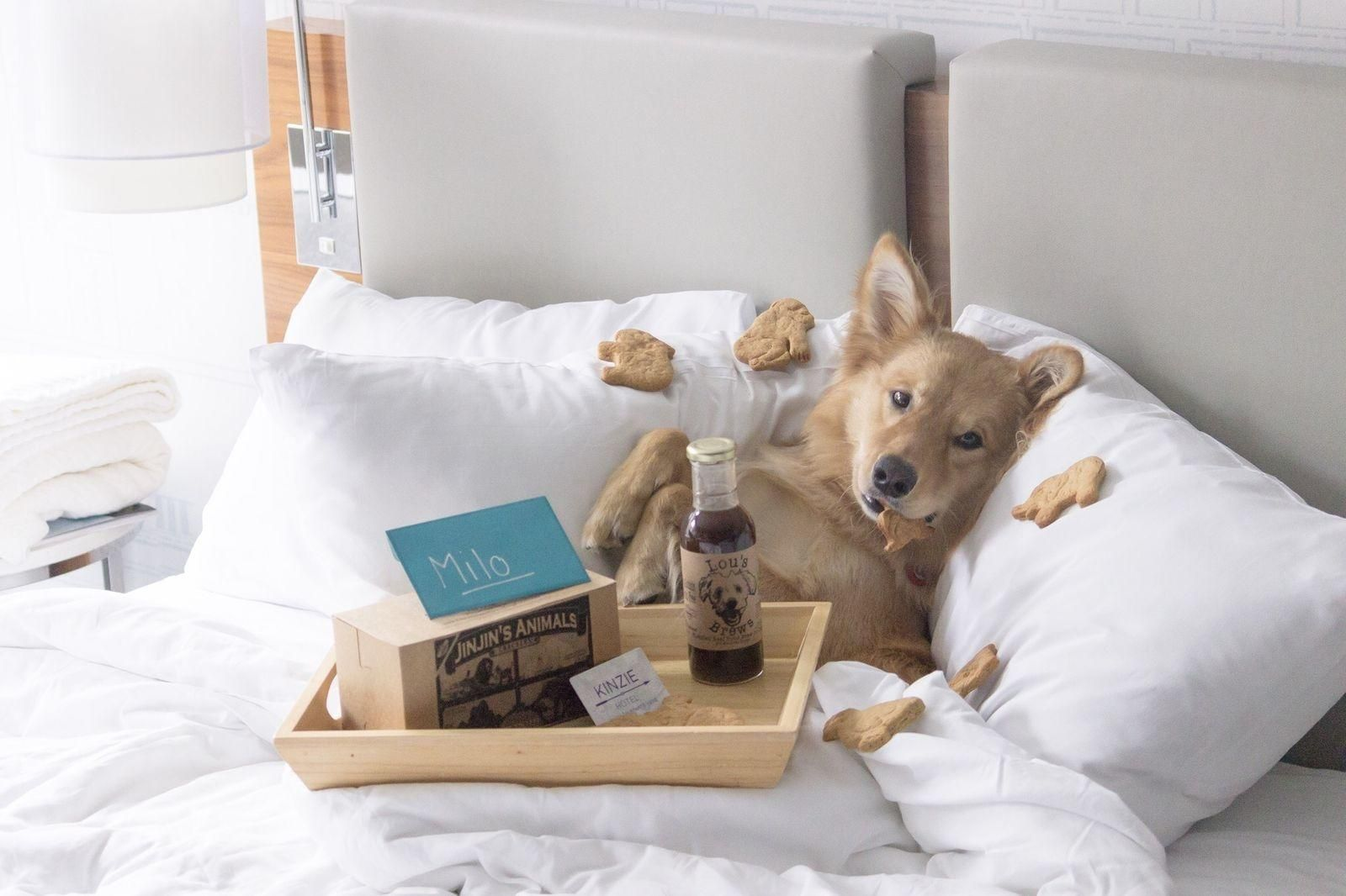 Golden retriever under covers and surrounded by dog treats in a bed at the Kinzie Hotel in Chicago