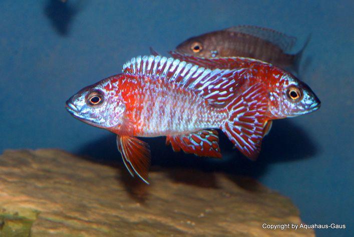 Aulonocara Red Rubin Cichlids African Cichlids Cool Fish
