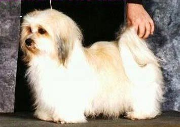 Havanese Dogs Are Kind Of Long Have Short Legs Havanese Dogs