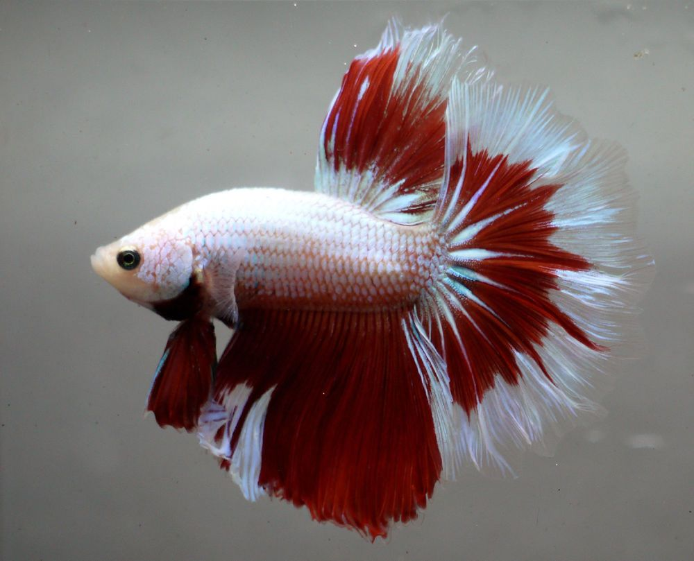 live Tropical Fish-red white halfmoon betta H18 | Beautiful Betta ...