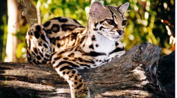 Adorable Margay Cats And Their Unbelievable Abilities 9 Pictures 2 Margay Cat Wild Cats Small Wild Cats