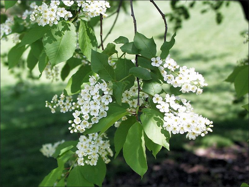 Chokecherry Flowers White Flowers And Green Leaves In Spring
