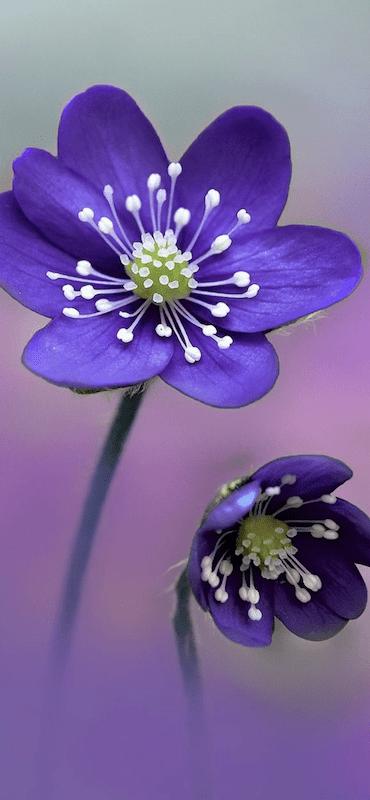 خلفيات ورد للايفون Purple Wallpaper Wallpaper Floral Drawing