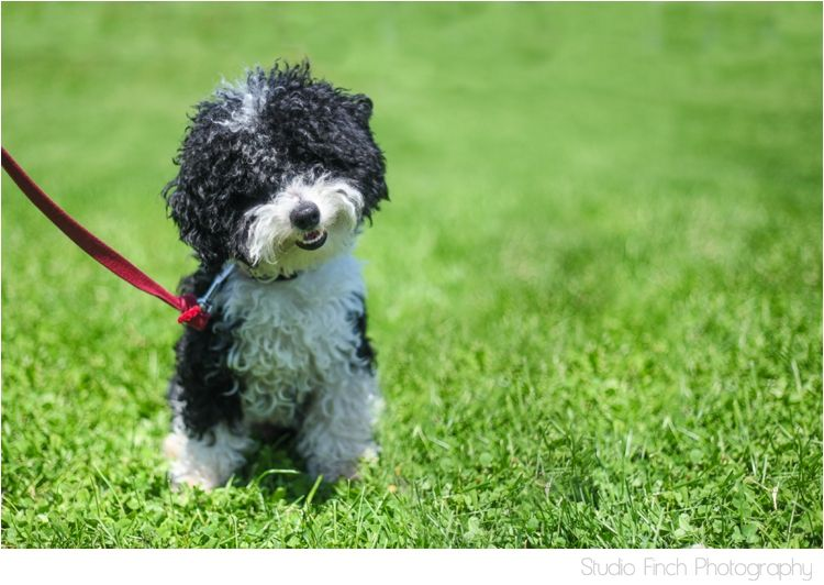Charlie Chicago Miniture Poodle Cutest Ever Puppy Black And