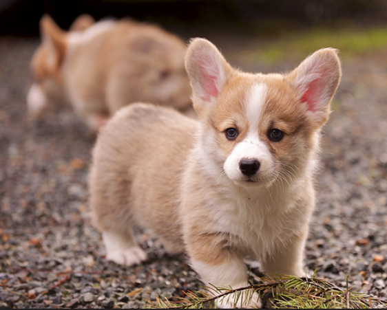 Puppy kopen: 9 tips voor de eerste periode! | Lifestyle for pets | Cute  corgi puppy, Welsh corgi puppies, Corgi dog