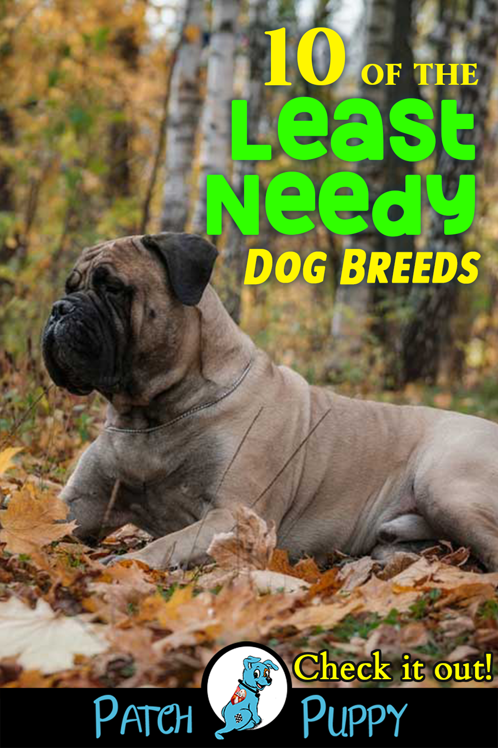 10 Of The Least Needy Dog Breeds You Ll Be Surprised Patchpuppy Com Dog Breeds Dogs Best Apartment Dogs