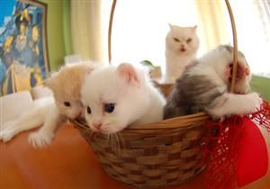 Kittehs in da basket