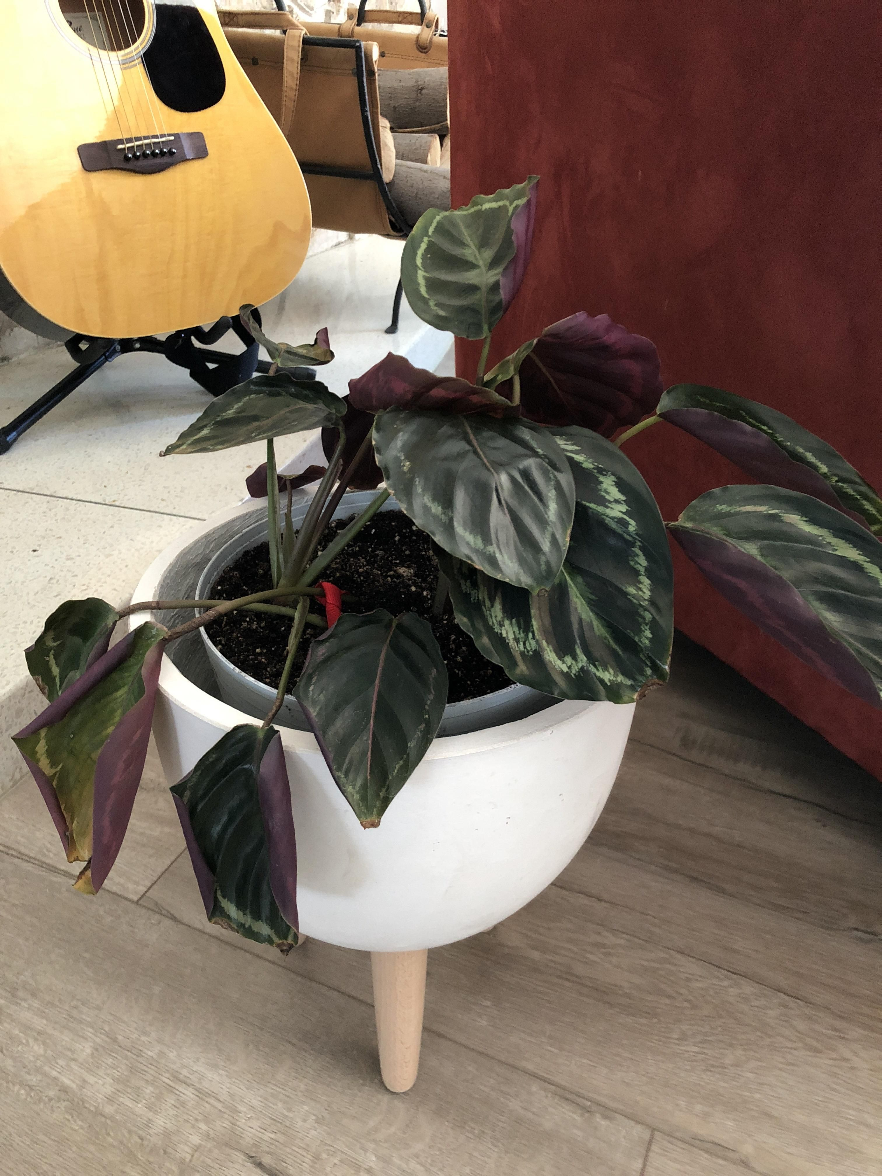 Why Are My Calathea Leaves Curling Causes And Solutions Smart Garden Guide Calathea Plant Calathea Smart Garden