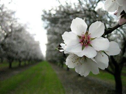 يا الله ما أجملك زهرة اللوز Almond Blossom Tuinieren
