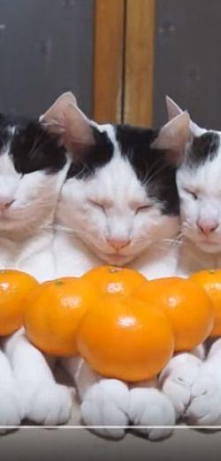 3 chats qui n'en ont rien à foutre des oranges.  http://rienquedugratuit.ca/videos/3-chats-qui-nen-ont-rien-a-foutre-des-oranges/
