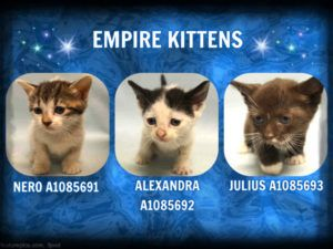 Empire Kittens A1085691 A1085692 A1085693 Kitten Adoption Kittens Happy Pictures