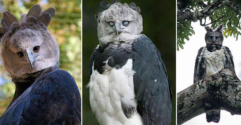 نسر الهاربي الامريكي Animals Owl Entertainment News